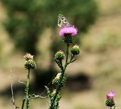 Mariposa y cardo (cvielba) Tags: leon cardo ciñera espacionatural mariposa montaña