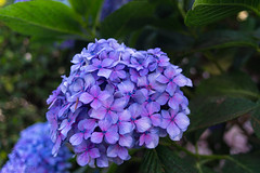 The Sorrentine Hydrangea (Ryan Irizarry) Tags: flower hydrangea sorrento coastofsorrento italy colorful nature sony a6000 canon fd 28 italia flora