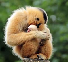 yellow cheeked gibbon artis BB2A4531 (j.a.kok) Tags: gibbon yellowcheekedgibbon goudwanggibbon artis animal aap ape mammal monkey mensaap zoogdier dier asia azie