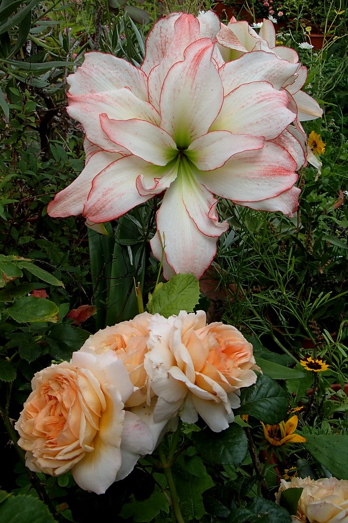 The world 39 s best photos of amaryllis and rose flickr for Amaryllis rose
