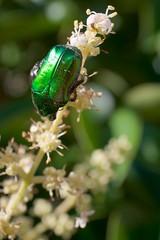 un gioiello nel giardino nostro - 庭の宝石 (Ryosuke IIDA) Tags: 虫