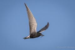 Black Tern (Turk Images) Tags: blacktern borealfringe borealwetland chlidoniasniger alberta blte birds laridae opal spring