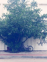 Banyan Tree Banyan City Urban Bicycle Tree Transportation Growth Mode Of Transport Outdoors Day No People Nature (HotDuckZ) Tags: banyantree banyan city urban bicycle tree transportation growth modeoftransport outdoors day nopeople nature