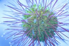 Spiky Plant (aaronlambert1982) Tags: macro macrophotography plant flower spiky prickly abstract strange splittone nikon nikond7100