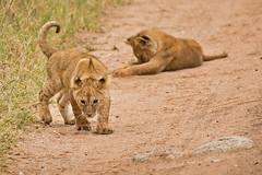 Lions of Maasai Kopjes 438 (Grete Howard) Tags: bestsafarioperator bestsafaricompany africa africansafari africanbush africananimals whichsafaricompany whichsafarioperator tanzania serengeti animals animalsofafrica animalphotos lions lioncubs maasaikopjes kopjes kopje