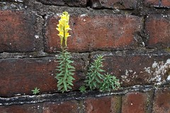 Common Toadflax Revisited (nz_willowherb) Tags: commontoadflax linariavulgaris scotland fife wormit flora wold