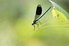 Gebänderte-Prachtlibelle (Nereus[GER]) Tags: gebänderteprachtlibelle libelle edellibelle insekt fluginsekt canon eos 80d 300mm f4 bokeh nereusger saarland