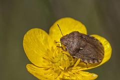 Eurygaster maura (Jaume Bobet) Tags: eurygaster maura hemiptera scutelleridae chinche insecto macro bobet canon sigma