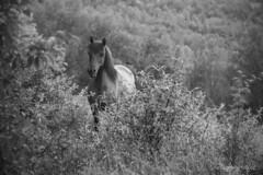 a gorgeous wildhorse b&w (Nicograf91-WebrografieFB) Tags: horse schwarzweiss bw blackwhite blackandwhite pferd 24105l canon canonlens nature natur