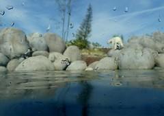 19 : 1  Is there a chance for the polar bears? (BrigitteE1) Tags: g20gipfel2017 g20leaderssummit klimawandel climatechange arktis arctic eisbär polarbear ursusmaritimus wildlandsadventurezooemmen 191 achanceforthepolarbears climatetreaty klimaabkommen