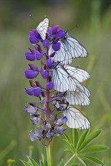 Meeting point (Xtraphoto) Tags: butterfly schmetterlinge meeting point flower blume nature natur insekten lupine lila violet