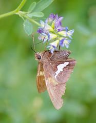 Moth Meal (Kurayba) Tags: edmonton alberta canada ca whitemud park ravine creek pentax k1 faj 75300 f4558 smcpfaj75300mmf4558al moth insect flower meal proboscis bokeh macro