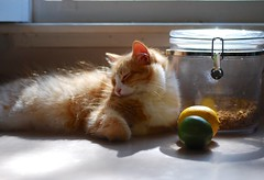 a lemon, a lime, and an orange (rootcrop54) Tags: orange tabby male cat lime lemon morning sunlight glows neko macska kedi 猫 kočka kissa γάτα köttur kucing gatto 고양이 kaķis katė katt katzen kot кошка mačka maček kitteh chat ネコ happy boy