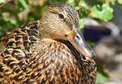 Mallard (careth@2012) Tags: mallard nature wildlife beak feathers portrait britishcolumbia waterfowl headshot duck