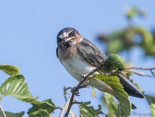 Cliff Swallow juvenile