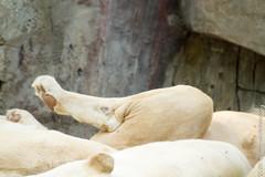 IMG_0612.jpg (wfvanvalkenburg) Tags: ouwehandsdierenpark familie lion