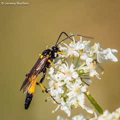 Ichneumon wasp? (JKmedia) Tags: ichneumon wasp insect wild wildlife macro closeup 2017 boultonphotography floral flower summer countryside devon yellow black small
