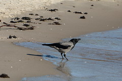 Nebelkrähe beim Trinken (julia_HalleFotoFan) Tags: rügen ostsee nebelkrähe aaskrähe corvuscorone rabenvogel