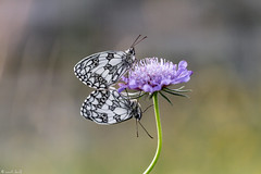 together (anna barbi) Tags: farfalle macro2017