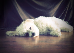 Tessa (LupaImages) Tags: tessa dog canine sleeping face fur animal pet family love rest