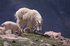 Mother and Child Reunion (Waterfall Guy) Tags: mountain goat kid mother mt evans colorado
