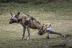 At full Stretch (- Jan van Dijk -) Tags: africanwilddog lycaonpictus dog african canid carnivore canine dier hond hund perro zoo dierentuin packanimal animal fullstretch