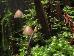 Mycena sp. (chaerea) Tags: bc canada forest forestfloor nature woodland mushroom fungi mycology