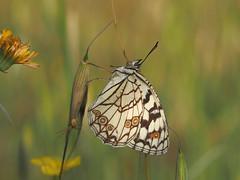 Melanargia ines (diegocon1964) Tags: melanargiaines lepidoptera papilionoidea nymphalidae satyrinae melanargiini melanargia inesi