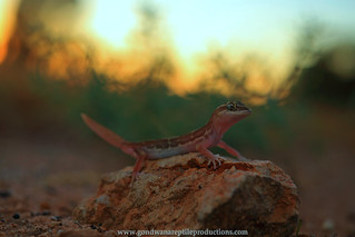 Box-patterned Gecko at sundown