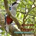 Cuban Trogon, Priotelus temnurus