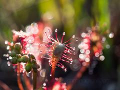 Sundew (shaftina©tion) Tags: carnivorous sundew plant shaftinactioncom tentacles
