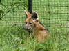 Mähnenwolf (1,0) (Chriest) Tags: zoodortmund mähnenwolf chrysocyonbrachyurus