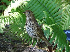 Song thrush (Kniphofia) Tags: songthrush rhsharlowcarr woodland