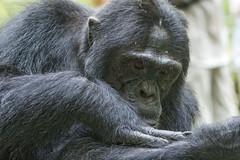 Chimpansee - Kibale forest - Uganda (wietsej) Tags: chimpansee kibale forest uganda sony a7rii a7rm2 zeiss sal135f18z 135 13518 sonnar13518za sonysal135f18