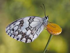 Su tesoro (Chusmaki) Tags: mariposas blanca madrid pedriza ngc omd1 60mm