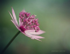 Little Lovely (jeanmarie's photography) Tags: tamronlens nikond810 nikon garden shallowdepthoffield bokeh macro 90mm pink flower jeanmarieshelton