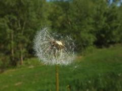 Dandelion (piabeeh) Tags: dandelion spring