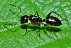 Ant on the nettle DSC_0741 (Me now0) Tags: ant nettle мравка коприва nikond5300 micronikkor40mm europe park insect macro никонд5300 юженпарк софиябългарияевропа summer лято
