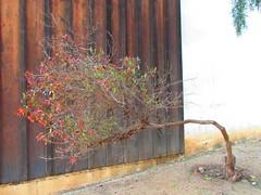 Bent (Karime Limon) Tags: nature tree bent yoga