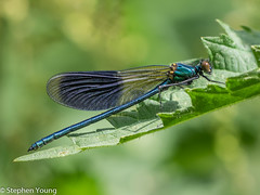 Banded Demoiselle Foots Cray meadows (stephenyoung839) Tags: closeup bandeddemoiselle demoiselle blue olympus omd em1 leica panasonic 100400