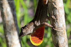 Brown Anole With Extended Dewlap (Glotzsee) Tags: nature florida indianrivercounty verobeach lizard anole brownanole dewlap outside outdoors wildlife glotzsee glotzseefloridaimages invasivespecies