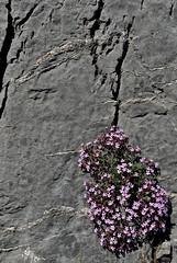 îlot de vie (jean-marc losey) Tags: espagne españa catalogne catalunya castellardenhug ardoise rocher printemps primavera gris rose pyrénées randonnée fleurs d700