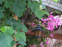 A roof of grapes and bougainvillea (~Ingeborg~) Tags: meinge greece griekenland zakynthos island eiland ionischezee ioniansea laganas pergola grapes druiven flowers bougainvillea typicalgreeklamp typischgriekslampje old oud cosy gezellig reed riet groeneiland greenisland rust peace ouzo wine wijntje