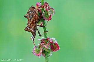 A Dock Bug - Coreus marginatus (Coreidae)