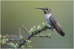 anna's hummingbird (Christian Hunold) Tags: annashummingbird songbird bird bokeh catalinastatepark sonorandesert arizona christianhunold