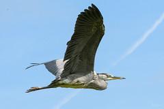 Heron (Shane Jones) Tags: heron greyheron bird birdinflight wings flight nature wildlife nikon d500 200400vr