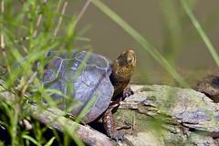 "Pacific-pond_Turtle_01 (DonBantumPhotography.com) Tags: wildlife nature animals turtle pacificpondturtle ""donbantumphotographycom"" ""donbantumcom"" ""nikon d7200"" ""afs nikkor 200500mm f56e ed vr"" afs teleconverter tc14eii 14x"""