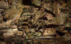 crab spider on hoop pine (dustaway) Tags: arthropoda arachnida araneae araneomorphae thomisidae stephanopinae stephanopis crabspider barkcrabspider hooppine crypsis camouflage lismore northernrivers nsw nature australia spinne araignee spideronbark natur