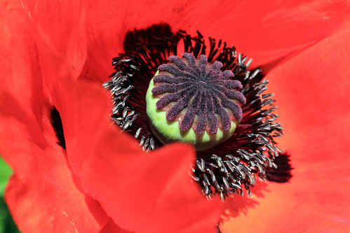 "Mohn (04) • <a style=""font-size:0.8em;"" href=""http://www.flickr.com/photos/69570948@N04/34774281540/"" target=""_blank"">View on Flickr</a>"