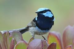 Superb Fairy-wren_9563E (Malurus cyaneus) (Neil H Mansfield) Tags: bird nature native australian victoria wren blue superb fairy maluruscyaneus